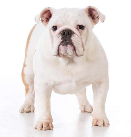 bulldog female puppy standing on white background Banco de Imagens