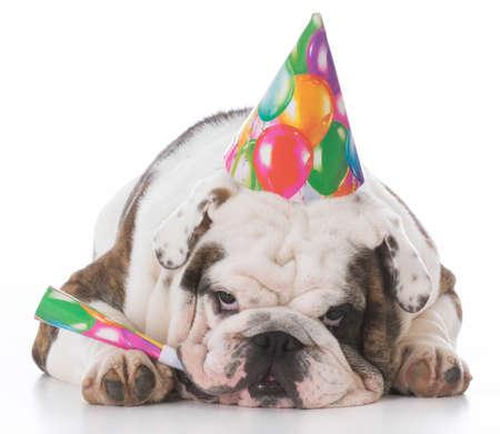 bulldog wearing birthday hat isolated on white background