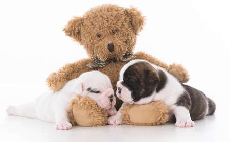 bear hugging two bulldog puppies kissing Banco de Imagens