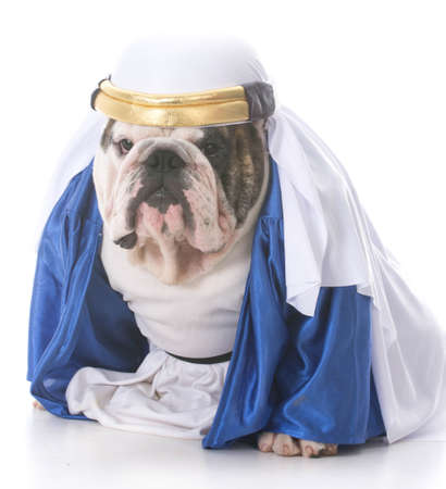 bulldog wearing a shiek costume isolated on white background Stock Photo