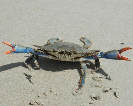large blue crab