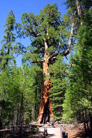Le Grizzly Giant est le plus vieil arbre dans la Mariposa Grove, Parc national de Yosemite  Banque d'images