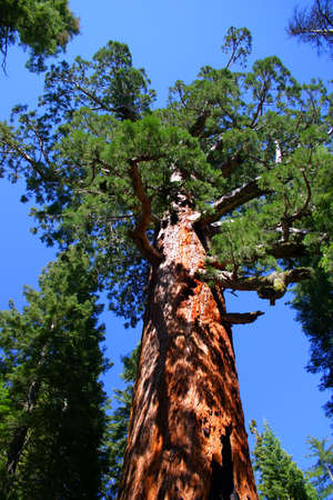 mariposa: The Grizzly Giant is the oldest tree in the Mariposa Grove, Yosemite National Park