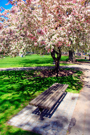 Cherry Blossom in Boston Public Garden during spring Stock Photo - 615136
