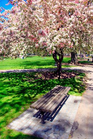 Cherry Blossom in Boston Public Garden during spring