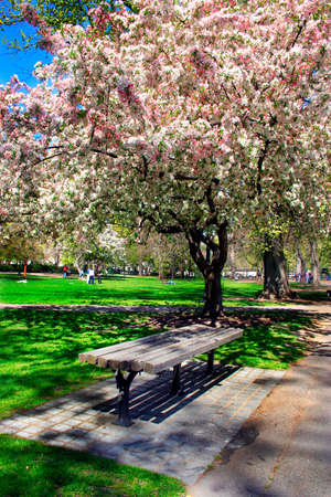 Cherry Blossom in Boston Public Garden during spring