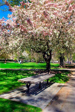 Cherry Blossom in Boston Public Garden during spring Stock Photo - 615137
