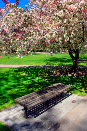 Cherry Blossom in Boston Public Garden during spring Stock Photo - 615139