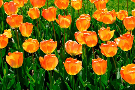 Tulips in Boston Public Garden during spring   photo