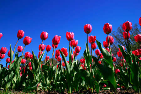 Tulips in Boston Public Garden during spring   Stock Photo