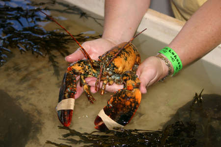 apparently: The odds of finding a yellow lobster are apparently around 1 in 30 million�