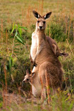Kangaroo feeding on a field   photo