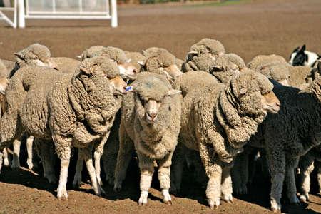 herding: Sheep