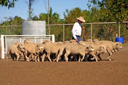 ovine: Sheep