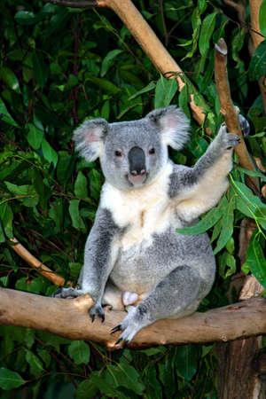 Le Koala (Phascolarctos cinereus)  Banque d'images