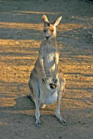A kangaroo is a marsupial from the  Macropodidaern photo