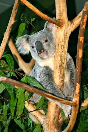 herbivore: The Koala (Phascolarctos cinereus) is a thickset arboreal marsupial herbivore native to Australia