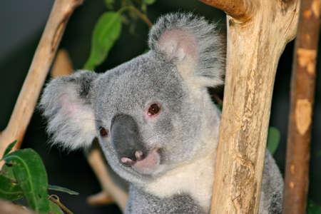 marsupial: The Koala (Phascolarctos cinereus) is a thickset arboreal marsupial herbivore native to Australia