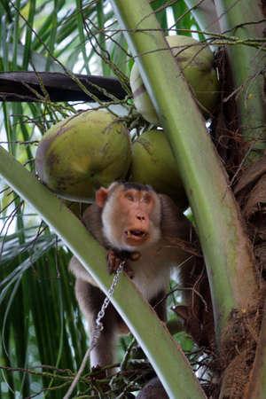 kelantan: Monkeys trained to pluck coconuts (Kelantan, Malaysia)
