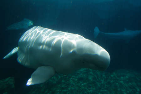 Stock image of white beluga whale    photo