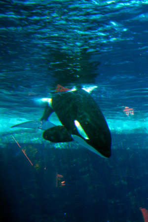 Stock image of killer whale  Stock Photo - 5589975