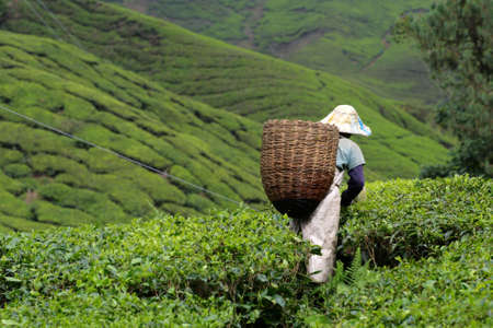 tea estates: Tea plantation at the Cameron Highland, Malaysia