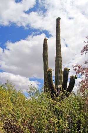 Stock image of Saguaro National Park, USA   photo