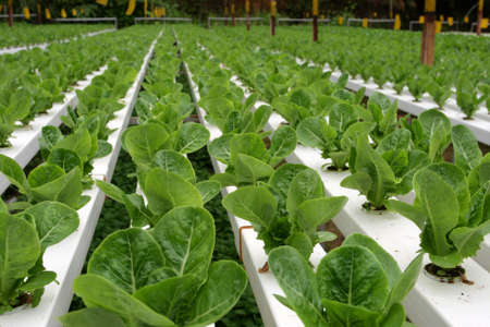 Hydrophonic Plantation at Cameron Highlands, Malaysia   photo