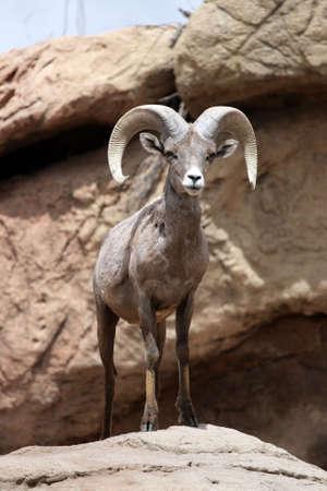 berggeit: Stock foto van een berg geit  Stockfoto