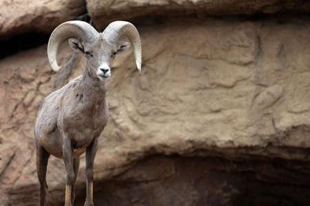 ibex ram: Stock image of a mountain goat