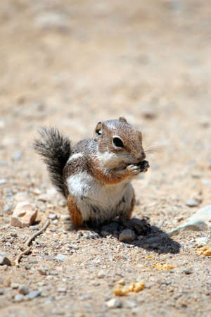 Stock image of a chipmunk   photo