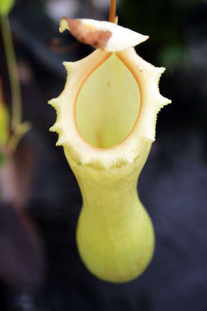 Pitcher plants are carnivorous plants whose prey-trapping mechanism features a deep cavity filled with liquid known as a pitfall trap