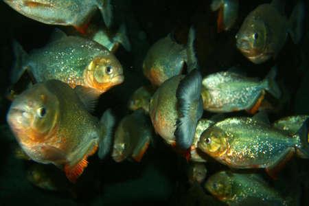 piranha: Stock image of Piranha
