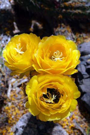 sonora: Stock image of Saguaro National Park, USA
