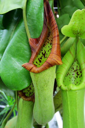 pitfall: Pitcher plants are carnivorous plants whose prey-trapping mechanism features a deep cavity filled with liquid known as a pitfall trap