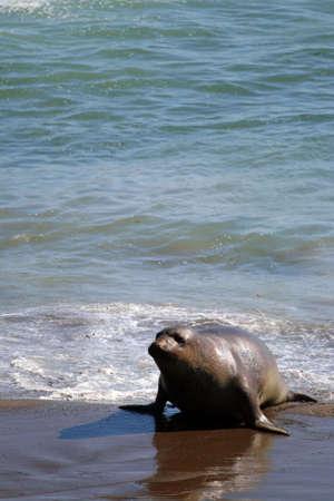 Sea lions at the Pacific Coast, California, USA   photo