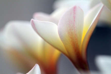 Plumeria flowers closeup on    Stock Photo