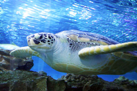 green sea: Green Sea Turtle swimming