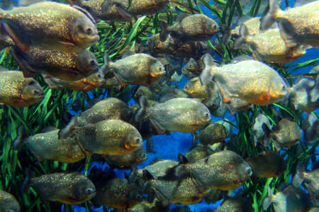 Red bellied piranha school swimming underwater. ( Serrasalmus nattereri )    photo