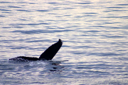 gray whale: Tail fin of a gray whale in Atlantic