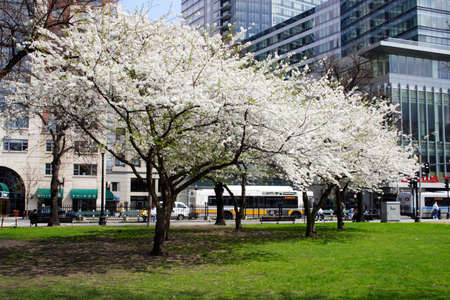 unfolding: Cherry Blossom in Boston Public Garden during spring