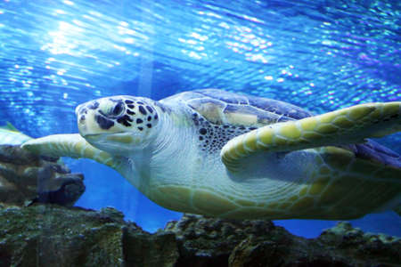 Stock image of Green Sea Turtle swimming           Save to a Lightbox ?                        Find Similar Images        Share ?          Green Sea Turtle swimming   photo