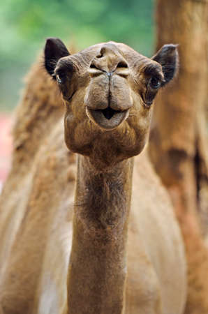 stock image: Stock image of camel