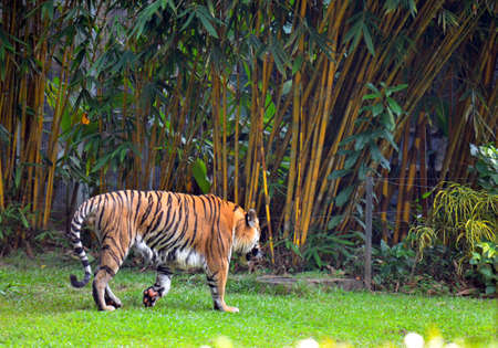 yellow tigers: This Tiger was taken from the Lost World of Tambun waterpark, Ipoh Stock Photo
