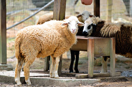 naivety: Stock image of group of sheep Stock Photo