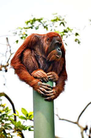 anthropomorphism:  orangutan