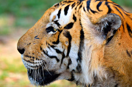panthera tigris sumatrae:   tiger