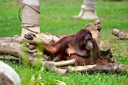 anthropomorphism: orangutan Stock Photo