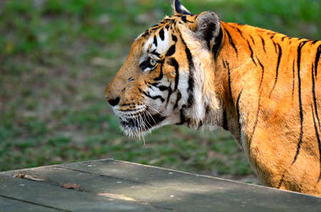 panthera tigris sumatrae: Stock image of a tiger Stock Photo