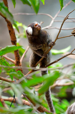smallest: Marmoset is the smallest monkey found in the Amazon Stock Photo